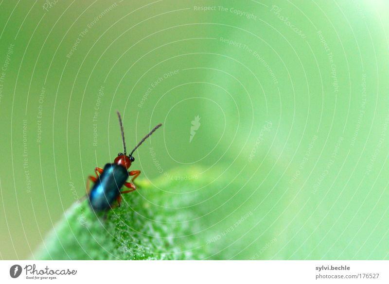 Die weite, weite Welt ... Natur grün Pflanze Blatt schwarz Tier klein Umwelt sitzen beobachten Wildtier Käfer Fühler krabbeln bräunlich