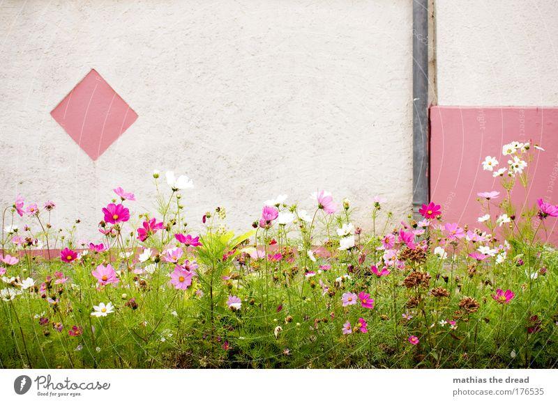 PINK IS PRETTY II Natur schön weiß Pflanze Sommer Farbe Wiese Wand Blüte Gras Frühling Garten Mauer Park Zufriedenheit klein