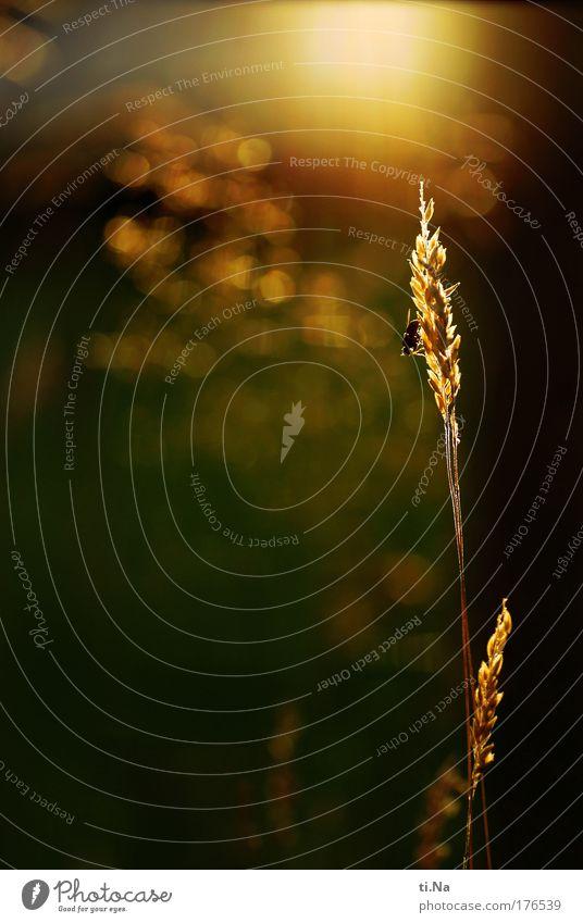 GoldGelb Farbfoto Außenaufnahme Nahaufnahme Menschenleer Textfreiraum links Textfreiraum Mitte Abend Dämmerung Licht Schatten Kontrast Silhouette