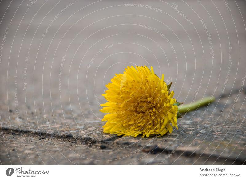 Stadtleben Natur grün Pflanze Blume Einsamkeit gelb Straße Umwelt grau Blüte Wege & Pfade Stein Traurigkeit Frühling Linie Erde