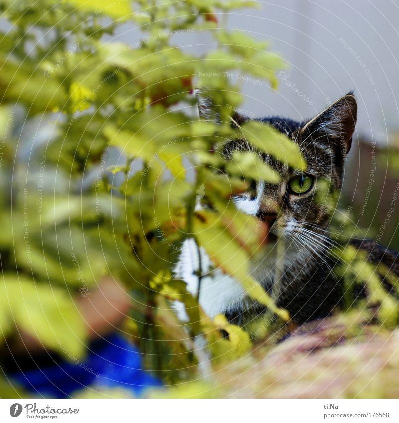 ich seh Dich Natur grün Pflanze Tier Leben Umwelt Garten Katze natürlich Wildtier authentisch einzigartig Tiergesicht beobachten gruselig Haustier