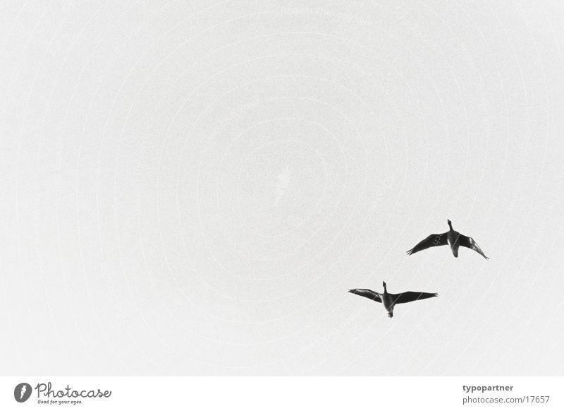 ziehende graugänse Gans fliegen Himmel Schwarzweißfoto