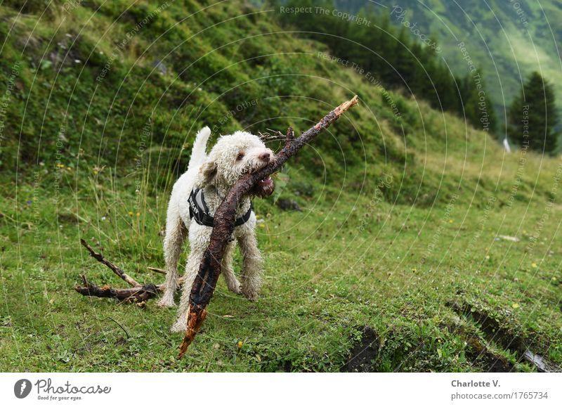 Stöckchen Hund Natur grün weiß Tier Freude Wiese Gras Holz Spielen Kraft Fröhlichkeit Lebensfreude Abenteuer niedlich Coolness