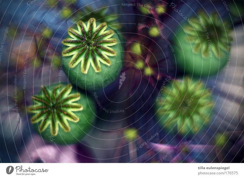 farbflash Natur schön Blume Pflanze Farbe verrückt Vergänglichkeit außergewöhnlich Mohn Blumenstrauß trocken Mohnkapsel
