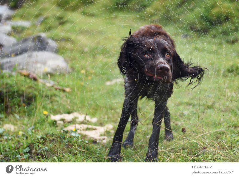 Schüttel deinen Speck! Hund grün Tier Leben natürlich Bewegung grau fliegen braun frisch stehen Fröhlichkeit Wassertropfen Lebensfreude nass Sauberkeit