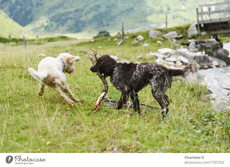 Ausweichmanöver Hund grün weiß Tier Freude Wiese lustig Bewegung braun gehen Zusammensein Freundschaft springen Idylle stehen Fröhlichkeit