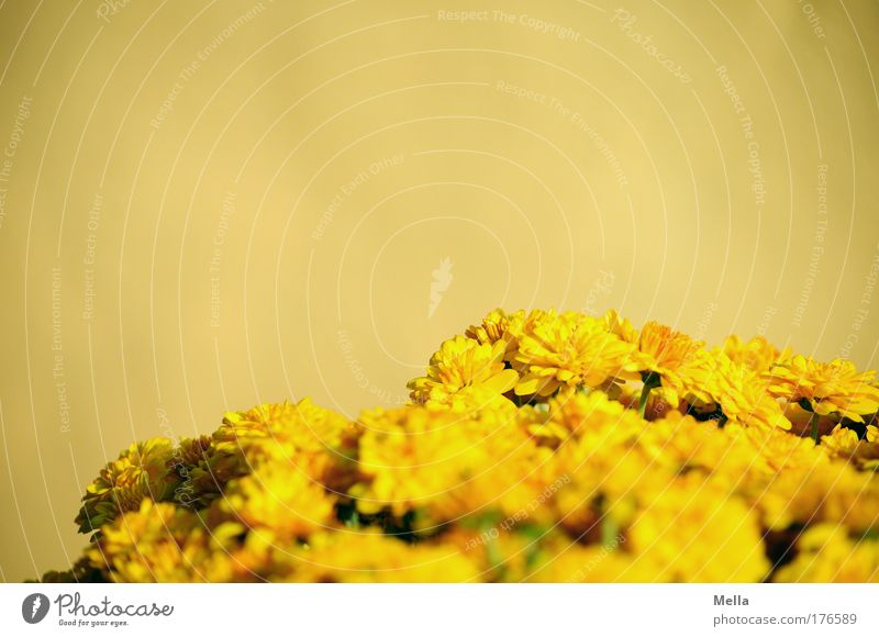 Gelb Blume Pflanze Sommer gelb Farbe Wand Blüte Mauer Wärme Stimmung Fröhlichkeit Wachstum Lebensfreude Blühend Freundlichkeit Duft