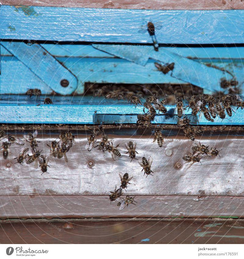 Bienchen Schwärmerei blau Umwelt Leben Bewegung natürlich Holz klein hell Zusammensein frei retro Schutz Sicherheit Zusammenhalt Insekt nah