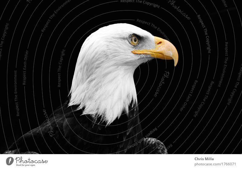Weiskopfseeadler Ferien & Urlaub & Reisen Ausflug Abenteuer Freiheit Natur Tier Wildtier Vogel 1 beobachten Denken entdecken Erholung hocken hören Jagd warten