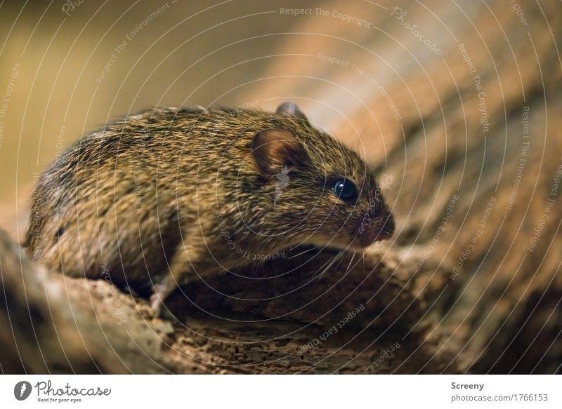 Mäusken #2 Natur Tier klein Wildtier Wachsamkeit Maus