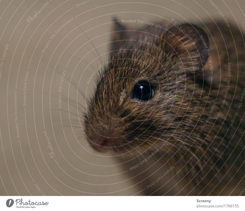 Mäusken Natur Tier Wiese klein Feld Wildtier Neugier Maus hocken