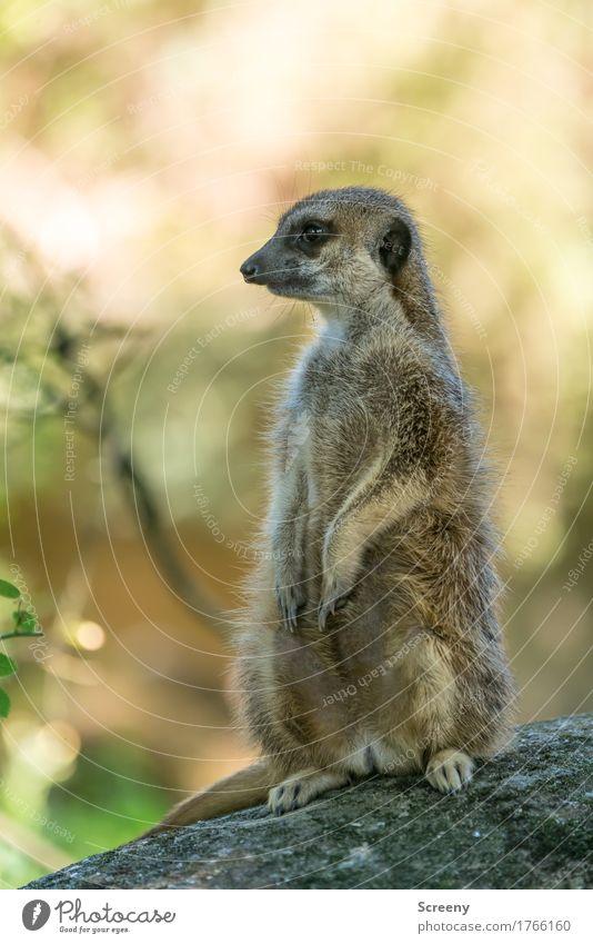 Wachposten Natur Sommer Tier Wildtier sitzen beobachten Schönes Wetter Neugier Wachsamkeit Erdmännchen
