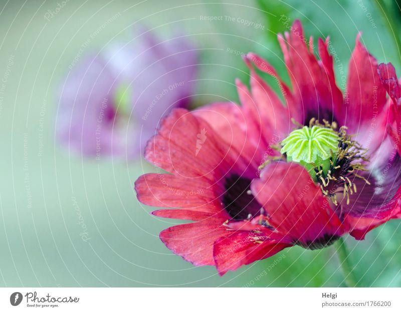 mal wieder Mohntag... Natur Pflanze Sommer grün schön Blume rot schwarz Umwelt natürlich Garten Wachstum frisch ästhetisch Blühend einzigartig