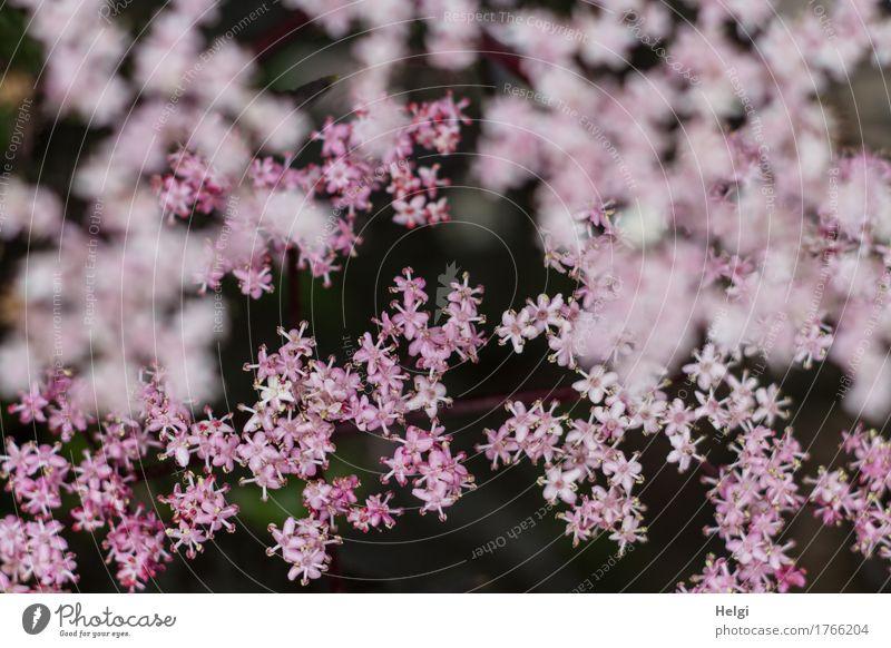 rosa Blüten... Umwelt Natur Pflanze Frühling Sträucher Nutzpflanze Holunderbusch Holunderblüte Garten Blühend Wachstum ästhetisch Duft schön einzigartig klein