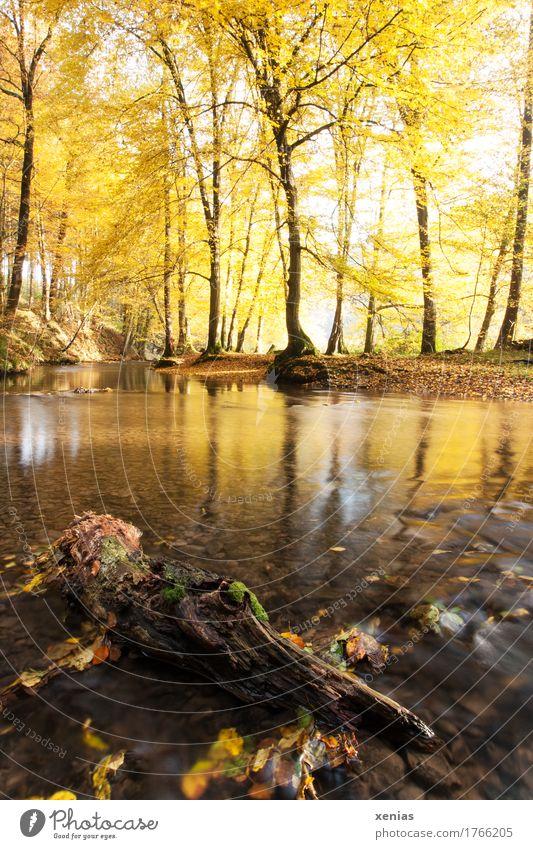 Langzeitbelichtung: Baumstamm im Bach mit herbstlich gelben Bäumen Herbst Fluss wandern Natur Landschaft Wald Bergisches Land Holz Erholung braun ruhig