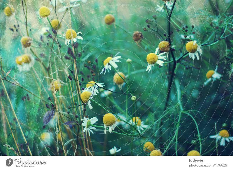 Am Straßenrand Farbfoto Außenaufnahme Menschenleer Tag Umwelt Natur Landschaft Frühling Sommer Pflanze Blume Gras Sträucher Blüte Kamille Park Duft einfach