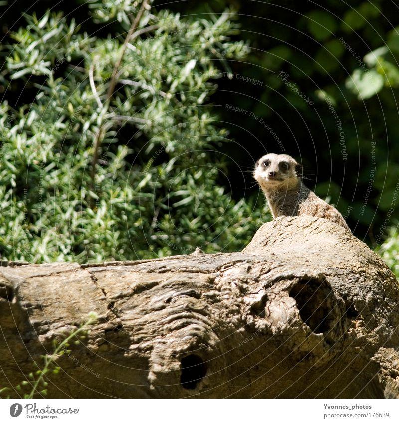 Alles im Blick Farbfoto Gedeckte Farben Außenaufnahme Tag Umwelt Natur Landschaft Erde Baum Sträucher Baumstamm Park Hügel Tier Wildtier Tiergesicht Fell Zoo