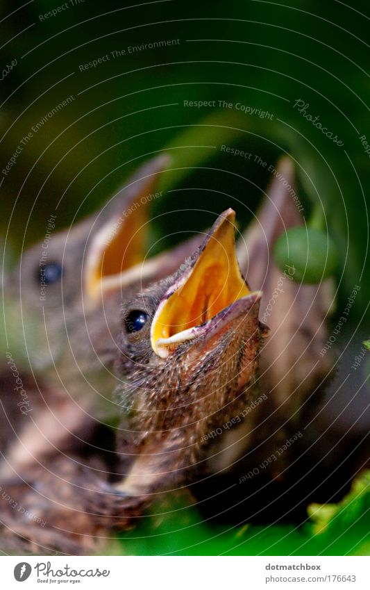Gimme worm! Natur Sommer Tier Wiese Vogel Feld fliegen Tiergruppe schreien 2 füttern Wurm Küken Tierjunges
