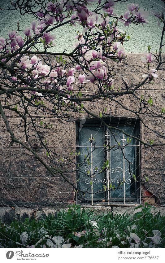magnolien und stahl Farbfoto Außenaufnahme Natur Frühling Pflanze exotisch Magnolienbaum Magnolienblüte Haus Mauer Wand Fassade Fenster Stein Blühend dunkel