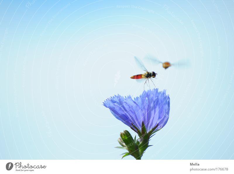 Geh ma wech da Umwelt Natur Pflanze Tier Wolkenloser Himmel Sommer Blume Blüte Wildpflanze Wegwarte Wiese Feld Wildtier Fliege Schwebfliege Schlupfwespe Insekt