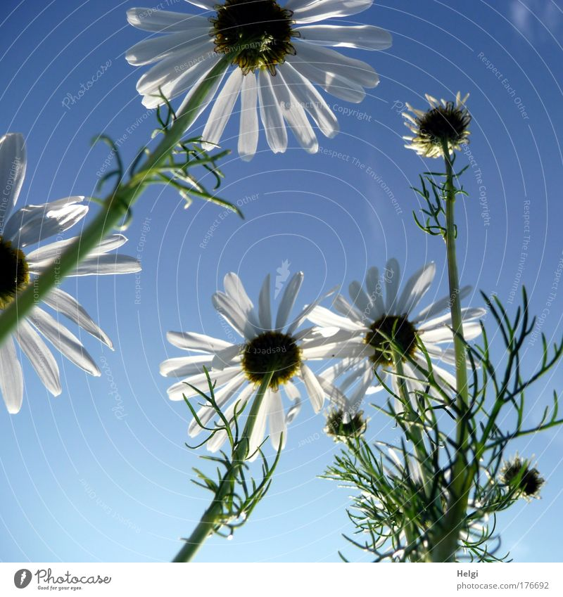 Camilla Himmel Natur blau weiß grün schön Pflanze Sommer Blüte Gesundheit Feld Wachstum ästhetisch Vergänglichkeit Schönes Wetter Blühend