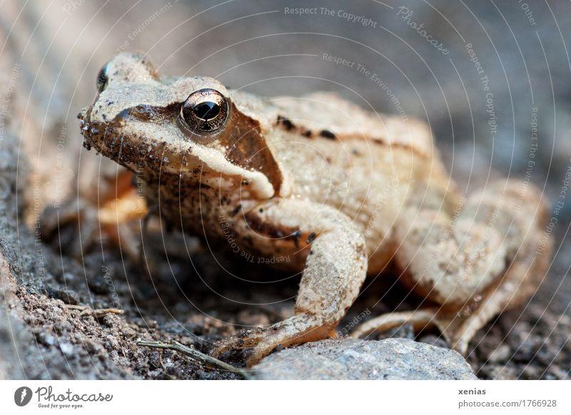 Ganzkörperaufnahme von einem Frosch Tier Springfrosch Grasfrosch Sommer Alpen Berge u. Gebirge 1 Stein springen Neugier braun gold grau schwarz Märchen