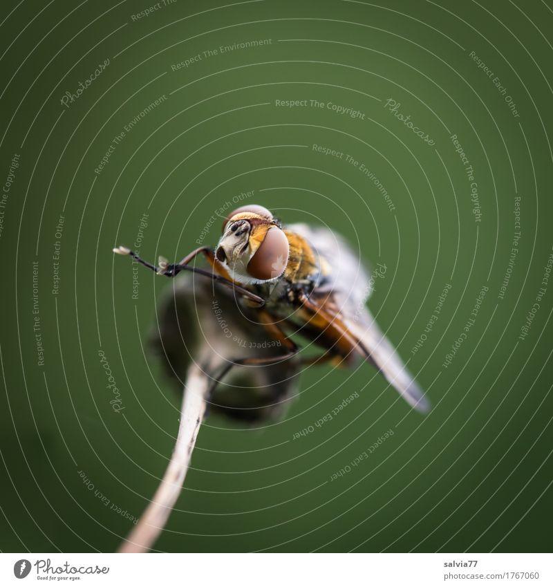Fußpflege Natur Tier Umwelt Wildtier Fliege sitzen Perspektive genießen beobachten Reinigen Gelassenheit Insekt Wachsamkeit Leichtigkeit Tiergesicht krabbeln