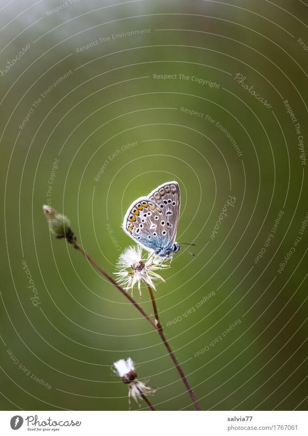 Nickerchen Natur Pflanze Tier Sommer Blüte Wildpflanze Distelblüte Samen Schmetterling Bläulinge 1 frei klein natürlich niedlich oben blau grau grün ruhig