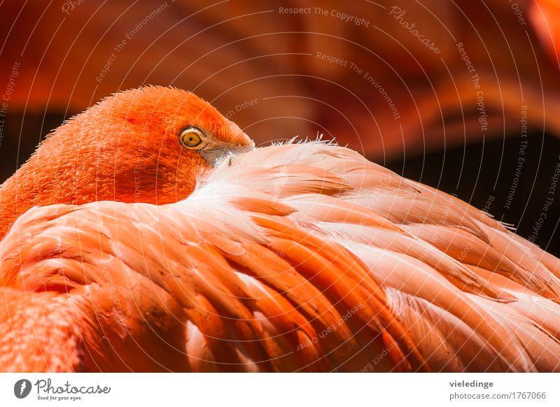 Flamingo-Portrait Zoo Tier Vogel 1 schlafen orange rot Auge Farbe Federn verstecken Farbfoto Außenaufnahme Nahaufnahme Menschenleer Textfreiraum oben