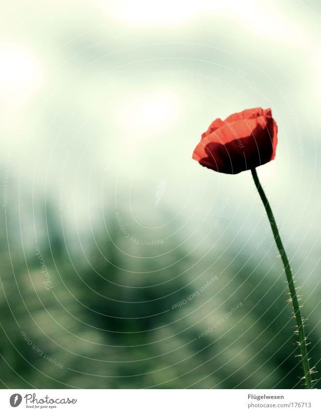 Gibts nicht ne Singlebörse für Mohnblumen? Natur schön Pflanze Einsamkeit Wiese Gefühle Landschaft warten Umwelt Lifestyle beobachten Lebensfreude natürlich