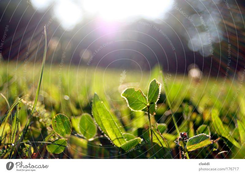 abendwiese grün Pflanze Sommer Wiese Gras Sonnenstrahlen Sonnenaufgang