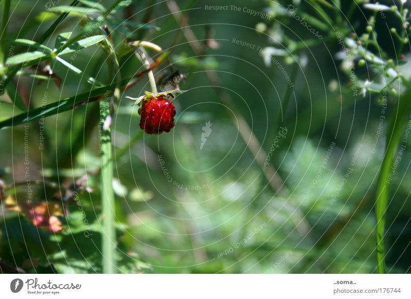 Walderdbeere Farbfoto Außenaufnahme Makroaufnahme Tag Frucht Natur Pflanze Sommer Gras genießen frisch lecker saftig grün rot Stimmung Lust Duft Erdbeeren