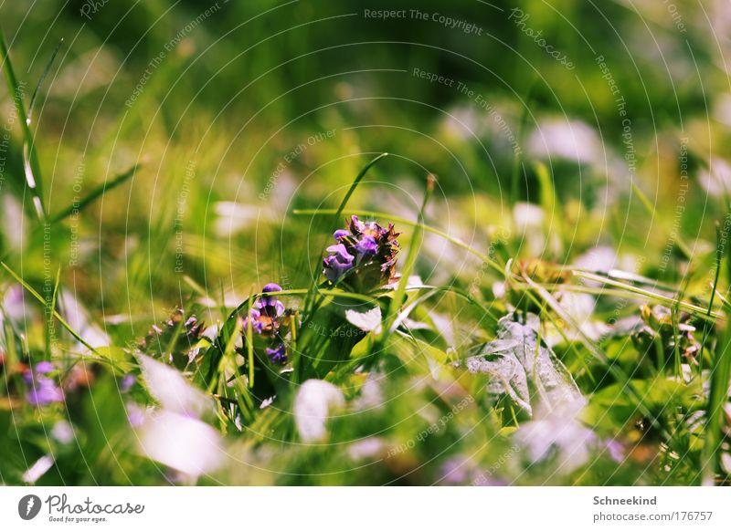 Klee Natur grün Pflanze ruhig Blatt Haus Tier Erholung Wiese Blüte Gras Landschaft Feld Umwelt ästhetisch Kitsch