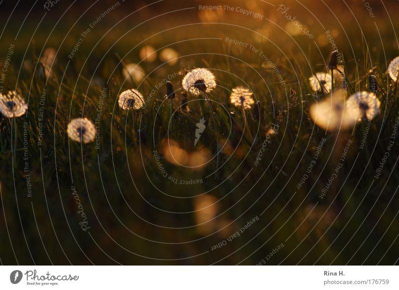 Leuchtende Pusteblumen Natur Landschaft Pflanze Sonnenaufgang Sonnenuntergang Frühling Sträucher Löwenzahn Löwenzahnfeld Wiese Blühend leuchten Freundlichkeit