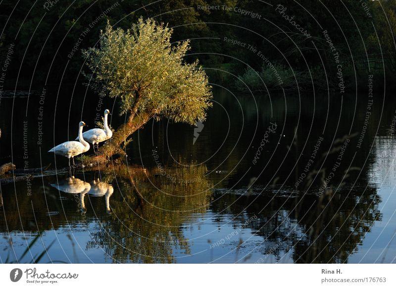 Nein, kein Schwanensee Natur Wasser weiß Baum grün blau Pflanze ruhig Liebe Tier gelb Gefühle See Landschaft Zusammensein Beleuchtung