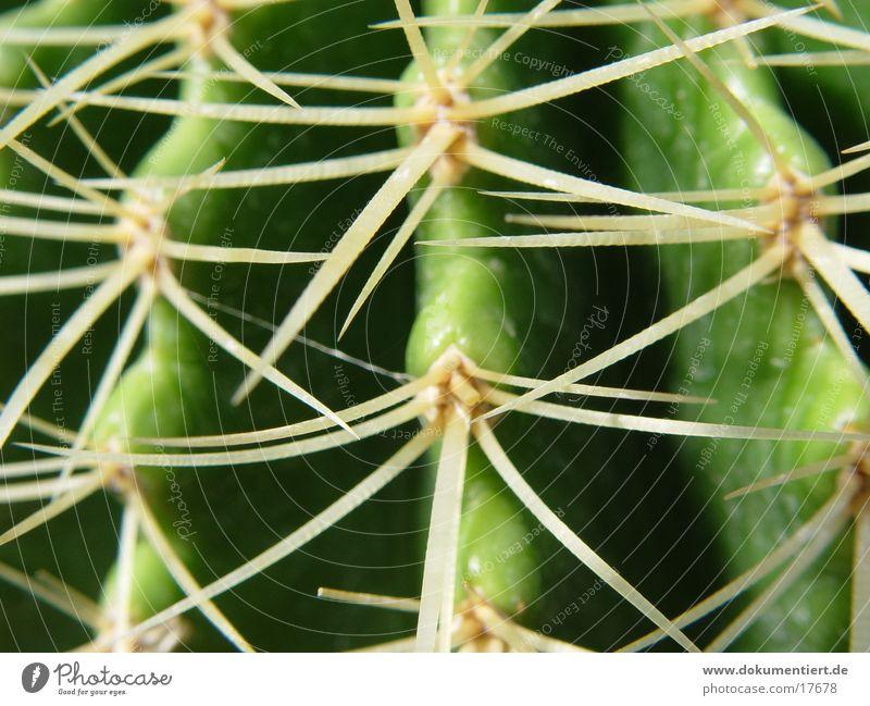 Stachelig Natur Pflanze
