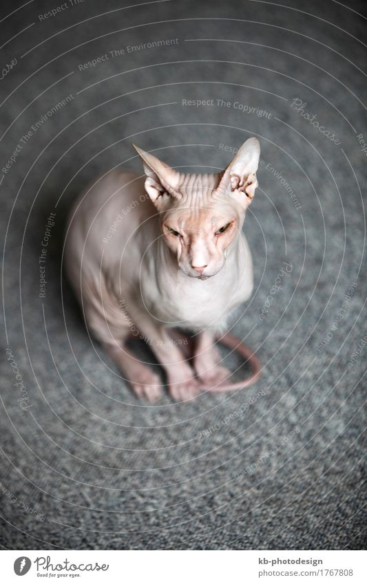 Don Sphynx cat sits on the floor Haustier Katze sitzen don sphynx don hairless animal mammal portrait pet bat ears allergies allergy allergic no allergy cat
