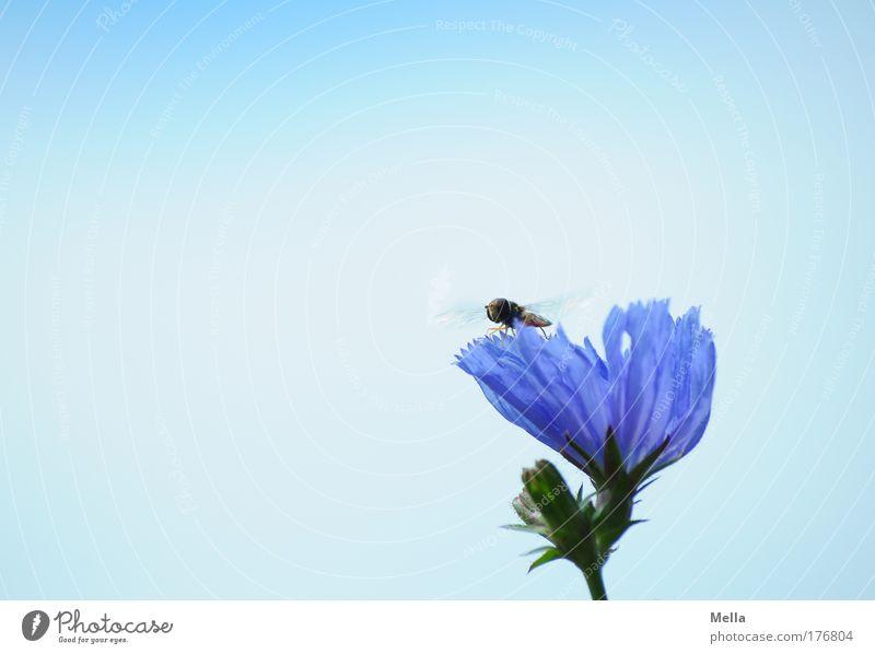 Meine ganz alleine! Natur Blume blau Pflanze Sommer ruhig Tier Wiese Blüte Zufriedenheit Stimmung Feld Fliege Umwelt fliegen sitzen