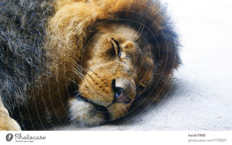 do not disturb Farbfoto Nahaufnahme Experiment Menschenleer Tag Tierporträt geschlossene Augen Wildtier Zoo 1 schlafen Müdigkeit