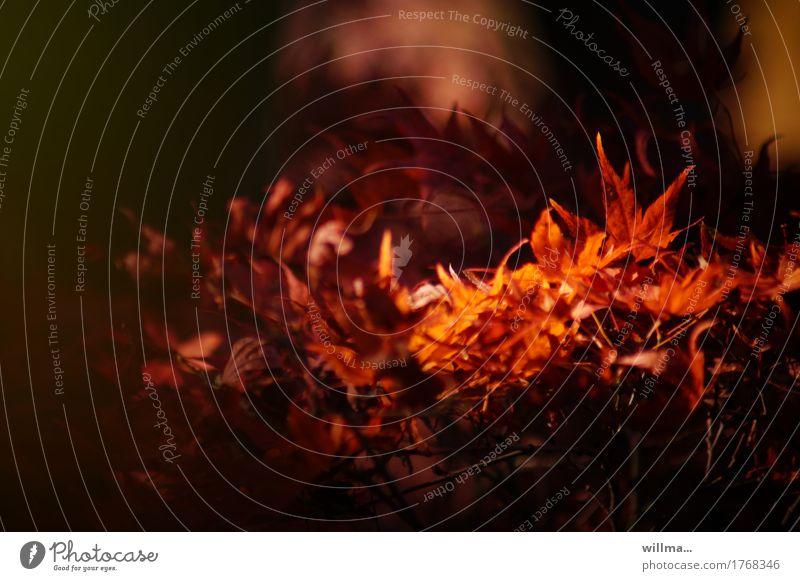 Herbstfeuer Blatt Herbstlaub Herbstfärbung Schlitzahorn Blutahorn Japanischer Ahorn Ahornblatt herbstlich Wärme rot Warmherzigkeit feurig Natur Blätterdach