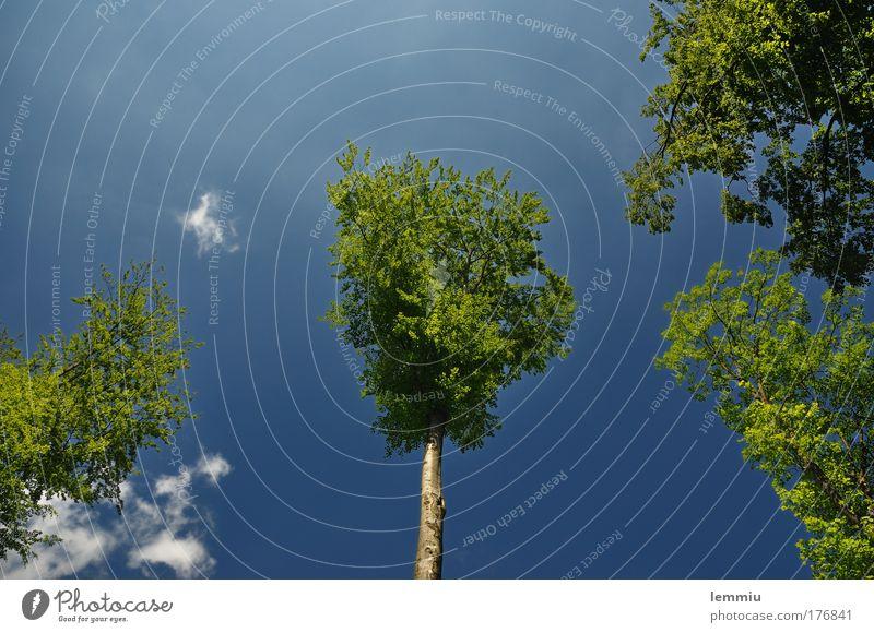 Bäume die in den Himmel wachsen Farbfoto Außenaufnahme Textfreiraum links Textfreiraum oben Tag Froschperspektive Weitwinkel Freiheit Sommer Sonne Umwelt Natur