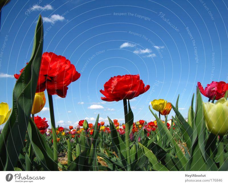Spring Natur Himmel Blume Pflanze Wolken Frühling Luft Feld Fröhlichkeit nah Schönes Wetter Tulpe