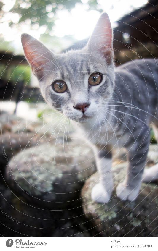 korsisches Katzenkind Tier Tierjunges klein grau niedlich Neugier Tiergesicht Interesse