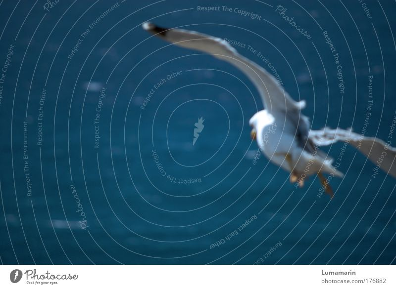 Sturzflug Landschaft Luft Wasser Sommer Schönes Wetter Wind Meer Tier Wildtier Vogel 1 fliegen frei frisch Unendlichkeit oben blau weiß Stimmung Lebensfreude