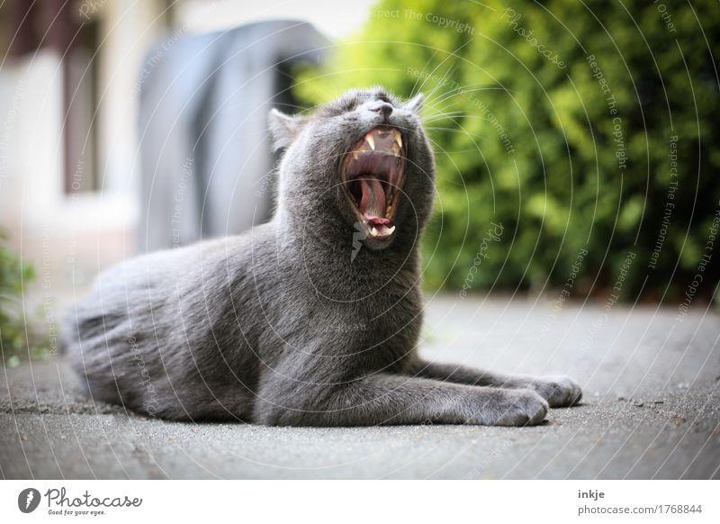 müder Kater Garten Haustier Katze Tiergesicht Hauskatze Maul Gebiss 1 hocken liegen grau Gefühle Geborgenheit Müdigkeit Unlust ruhig Zufriedenheit gähnen weit