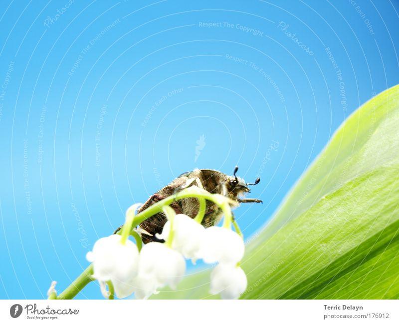 Maikäfer Natur weiß Blume grün blau Pflanze Tier gelb Blüte Bewegung Frühling braun laufen Umwelt Insekt beobachten