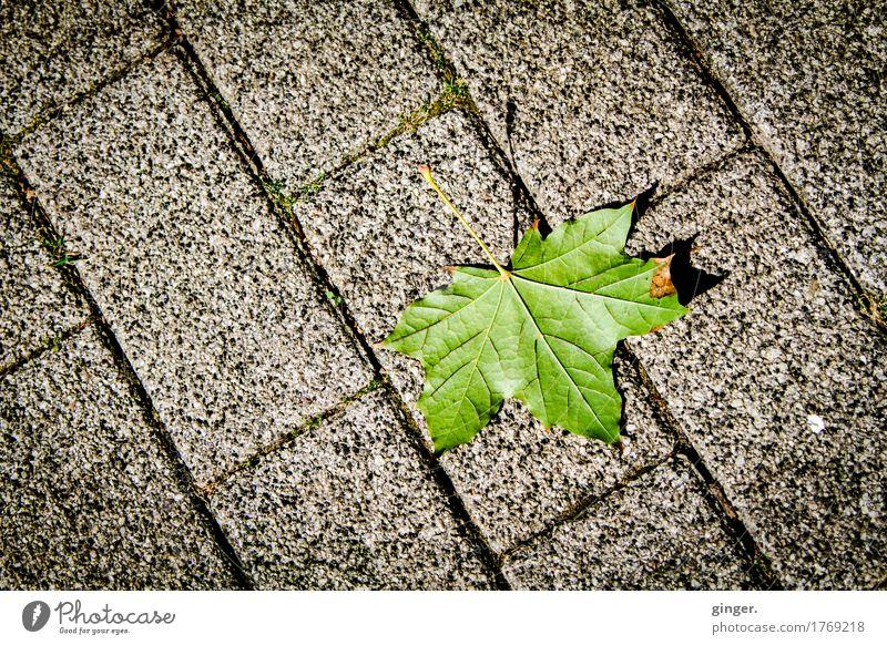 Ne Ecke Herbst Umwelt Sommer Blatt grau grün Ahornblatt Pflastersteine Pflasterweg Wege & Pfade Blattadern vertrocknet braun meliert Linie gerade Boden gefallen