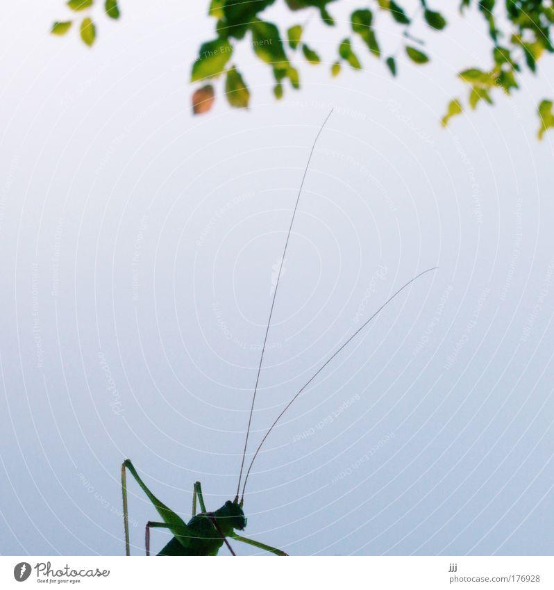 Hüpfer unterm Haselstrauch Textfreiraum links Textfreiraum Mitte Umwelt Natur Pflanze Tier Baum Blatt Insekt Heuschrecke grün
