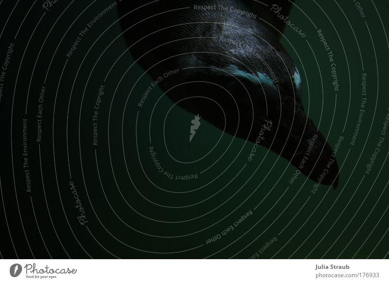 pitsch patsch Farbfoto Außenaufnahme Nahaufnahme Unterwasseraufnahme Textfreiraum links Textfreiraum unten Hintergrund neutral Tag Schatten Tierporträt