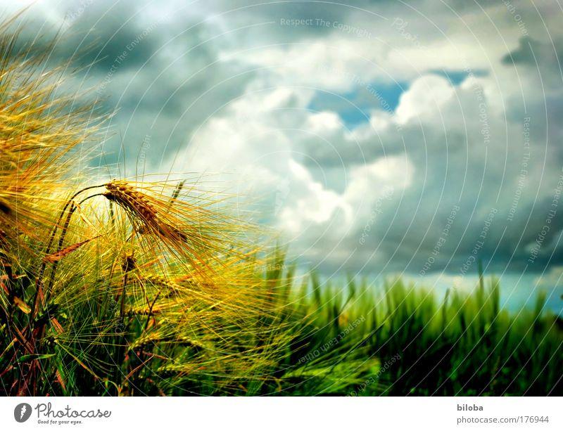 Goldene Ähren am Rande eines Getreidefeldes vor Gewitterstimmung Kornfeld golden Sturm Klimawandel Farbfoto Außenaufnahme Nahaufnahme Experiment Menschenleer